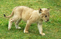 Lion cub moving  Stock Images