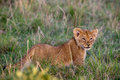 Lion cub (Panthera leo) Stock Photos