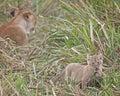 Lion cub playful in front of its mother masai mara national reserve kenya africa Stock Photos