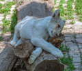 Lion cub resting Royalty Free Stock Photo