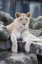 Lion cub on rocks a young female sits some Stock Images