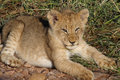 Lion cub sunning in early morning light Royalty Free Stock Photo