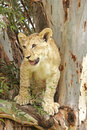 Lion cub in a tree Stock Photos