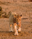 Lion cub in Tuli Block Royalty Free Stock Images