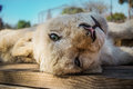 Lion cub in wildlife having rest Royalty Free Stock Image
