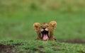 Lion cub is yawning. National Park. Kenya. Tanzania. Masai Mara. Serengeti. Royalty Free Stock Photo
