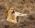 Lion Cub Yawning With Tongue Royalty Free Stock Photos