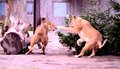 Lion cubs fought in christmas trees Royalty Free Stock Images