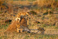 Lion cubs playing Stock Images