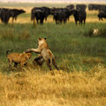 Lion cubs playing cape buffalo and Stock Photography