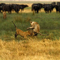 Lion cubs playing cape buffalo and Royalty Free Stock Photography