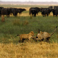 Lion cubs playing cape buffalo and Stock Photos
