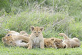 Lion cubs  playing on the savanna, Royalty Free Stock Photo