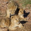 Lion cubs sunning in early morning light Royalty Free Stock Photos