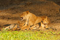 Lion with cubs two relax their mother Stock Photography