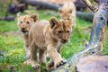 Lion cubs walking Stock Photos