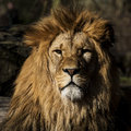 Lion detailed picture of a lions head in the sun Royalty Free Stock Photos
