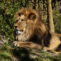 Lion detailed picture of a in the sun Royalty Free Stock Photo