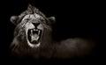 Lion displaying dangerous teeth