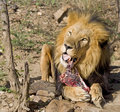 Lion eating Stock Photos