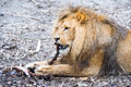 A lion eating a piece of meat dines with large Royalty Free Stock Photo