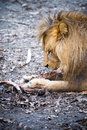 A lion eating a piece of meat dines with large Royalty Free Stock Image