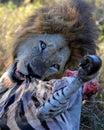 Lion eating zebra Royalty Free Stock Photo