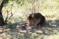 Lion eats the prey big piece of meat with bones Stock Photo