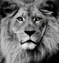 Lion eyes Royalty Free Stock Image