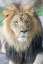 Lion Face Closeup Royalty Free Stock Photo