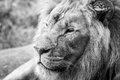 Lion Face Closeup Side View Royalty Free Stock Photo