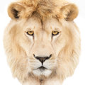 Lion face portrait of a majestic crowned with mane isolated on white background Stock Image
