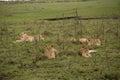 Lion Family Royalty Free Stock Photo