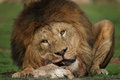 Lion feeding Royalty Free Stock Photography