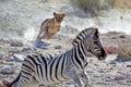 Photo : Lion female hunting zebra   makeup