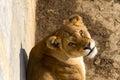 Lion female Royalty Free Stock Photo
