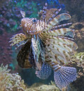 Lion fish 2 Stock Photography