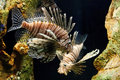 Lion Fish Stock Photography