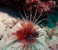 Lion-fish agressivo Fotografia de Stock Royalty Free