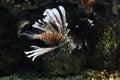 Lion fish in aquarium china Royalty Free Stock Images