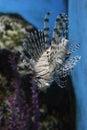 Lion fish in aquarium china Royalty Free Stock Photo