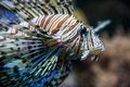 Lion fish closeup of a red sea egypt Royalty Free Stock Photos