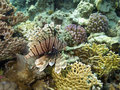 Lion Fish in coral reef Royalty Free Stock Photo