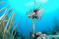 Lion fish and coral reef Royalty Free Stock Image