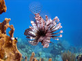 Lion Fish, deadly predator Royalty Free Stock Photo