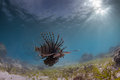 Lion fish on the prowl Stock Images