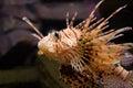 Lion-fish rosso Immagini Stock Libere da Diritti