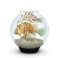 Lion fish to big for the fishbowl over crowding need relocate concept Royalty Free Stock Photography