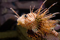 Lion-fish vermelho Imagens de Stock Royalty Free