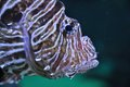 Lion fish in the water Stock Image